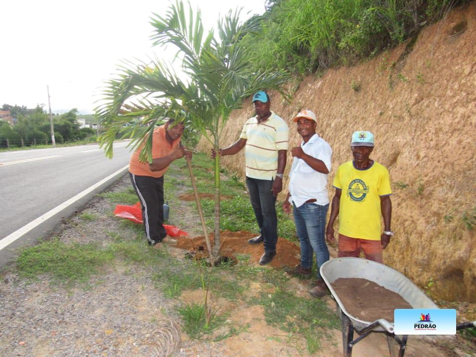 Prefeitura de Pedrão faz plantio de palmeiras imperiais