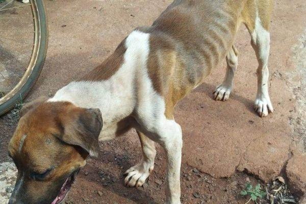 cachorro é maltratado e morre após ficar sem água e comida
