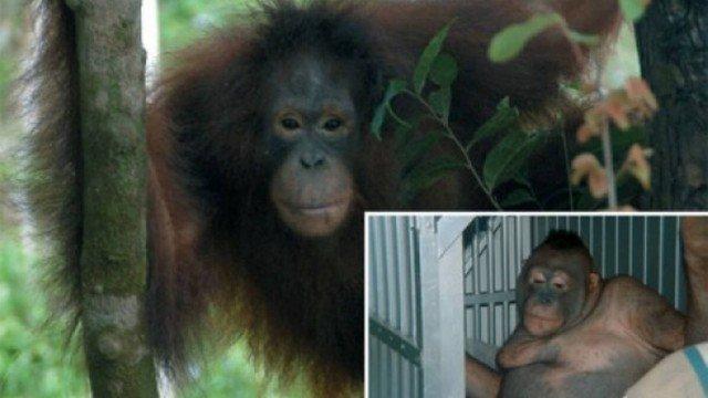 Usada como prostituta, fêmea de orangotango é salva na Indonésia
